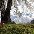 写真: 地蔵桜と残雪の武尊