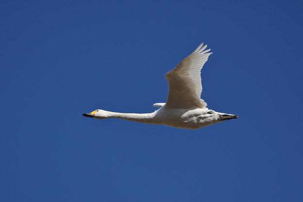 Photos: 滑空白鳥