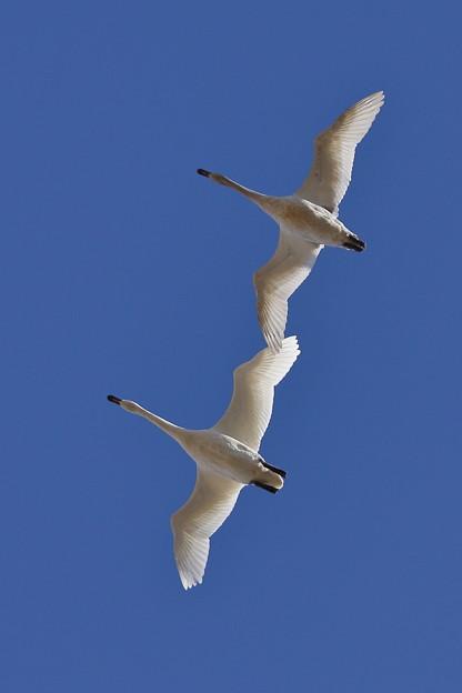 頭上に白鳥