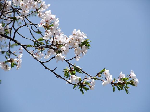 Photos: 奥会津に桜咲く