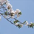 写真: 奥会津に桜咲く