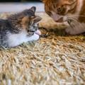 写真: 仔猫を見つめる権蔵の眼差しが良いなあ