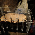 写真: ダイオウグソクムシのプラスティネーション標本