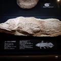 写真: シーラカンスの化石