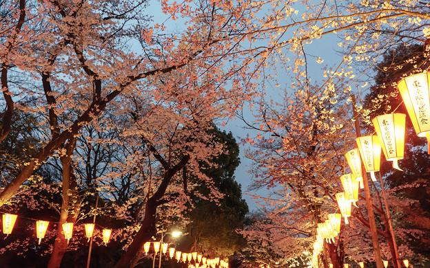 Photos: 夜桜並木