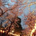 写真: 夜桜並木