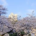 写真: ランドマークタワーと桜