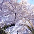 写真: 桜の中を歩く