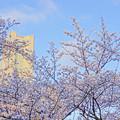 桜の中の・・・
