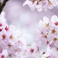 写真: 雨上がりの桜