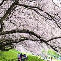 写真: 桜の路