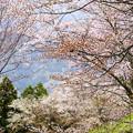 山桜の共演
