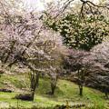 写真: 桜の斜面