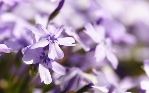 紫に染めて