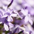 写真: 紫に染めて