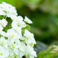 写真: 柏葉紫陽花