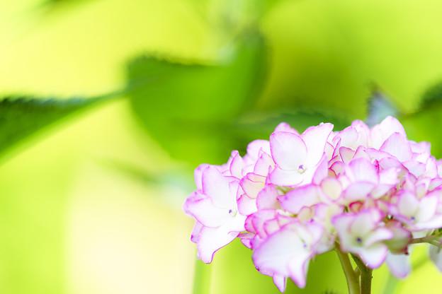 写真: 縁取りピンク
