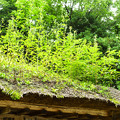 写真: かやぶき屋根