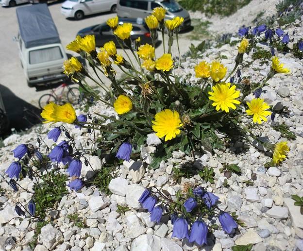 ドロミテの花