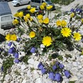 Photos: ドロミテの花