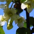 写真: グミの花