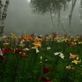 霧とユリと白樺と