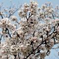 Photos: 八分咲き