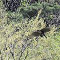 新緑の中獲物を運ぶクマタカ