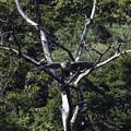 クマタカYの枯れ木からの飛び出し1