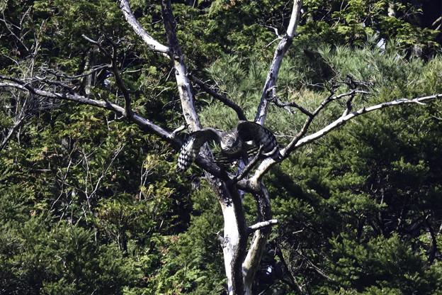 写真: クマタカYの枯れ木からの飛び出し3