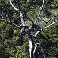 クマタカYの枯れ木からの飛び出し3