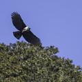 写真: クマタカ(雌)飛翔