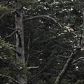 写真: クマタカ若飛び出し前
