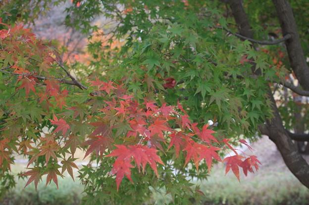 緑色の紅葉 (1)