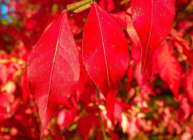 紅葉さかりのニシキギ