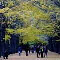 写真: 昭和記念公園の公孫樹並木
