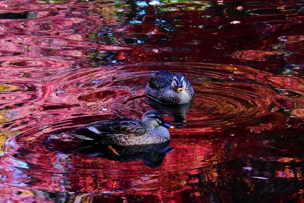 写真: 池の中の紅葉