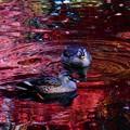 池の中の紅葉