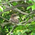 百舌鳥の雛6