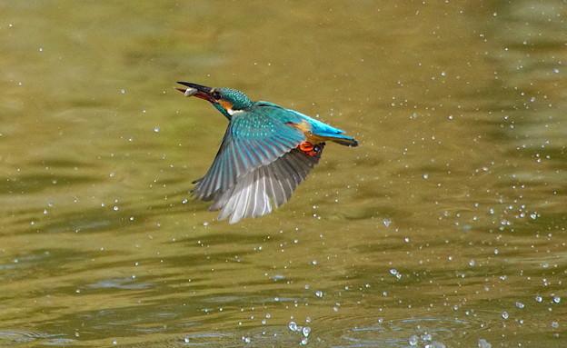 写真: ◎お魚ゲットで飛翔なカワセミちゃん(♀)