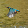◎お魚ゲットで飛翔なカワセミちゃん(♀)