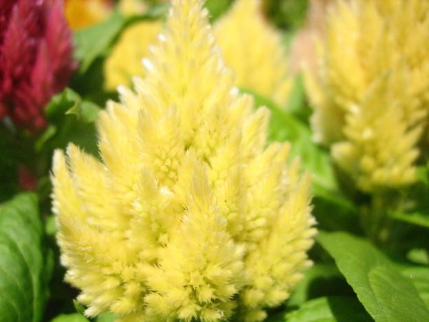 羽毛ケイトウの花2