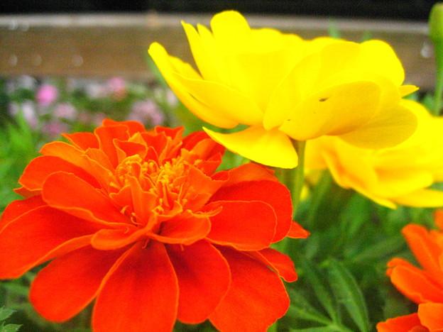 フレンチマリーゴールドの花2