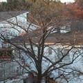 桜の枝にはもうほとんど残っていません