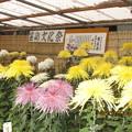 大國魂神社の菊展覧