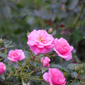 春の薔薇~♪