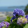 海を眺める紫陽花~♪