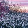 写真: 燃える空と梅の花