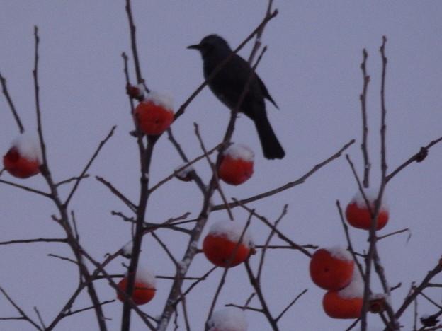柿にも雪が
