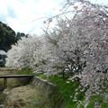 写真: 大宇陀の桜